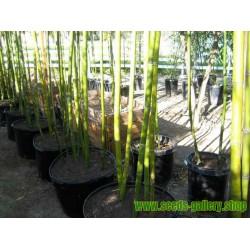 Graines de Bambou Géant Madaké (Phyllostachys bambusoides)