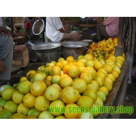 DOSAKAI Indian Cucumber Seeds