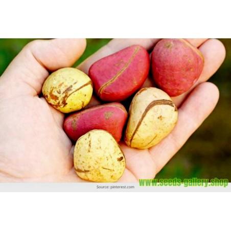 Coca Cola - Kola nut Seeds (Cola acuminata)