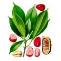 Kaffir Plum - South African Plum Seeds (Harpephyllum caffrum)