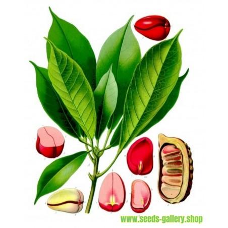 Cola - Kola Seme (biljka) - Coca Cola (Cola acuminata)