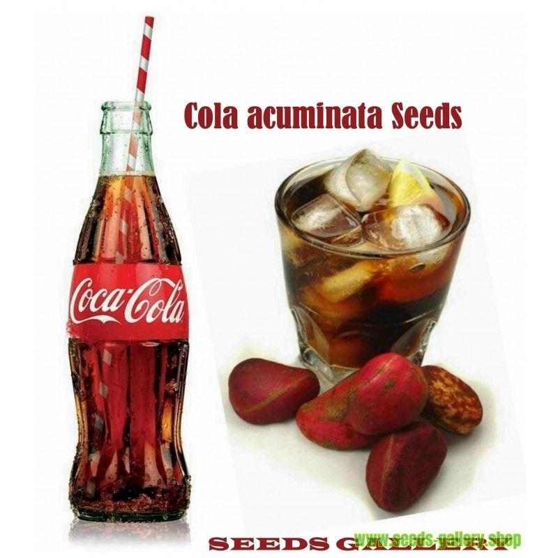 Coca Cola - Kolanuss Samen (Cola acuminata)