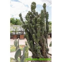 Peruvian Apple Cactus Seeds (Cereus peruvianus)