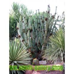 Sementes De Cactos Maça Do Peru (Cereus Peruvianus)