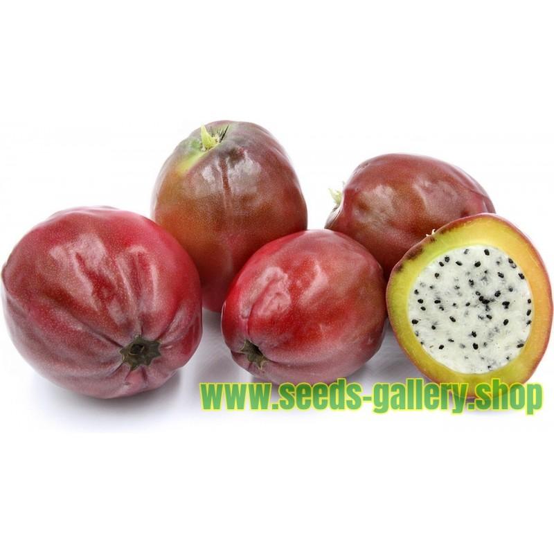 Peruanischer Apfelkaktus - Kadushi Samen (Cereus Peruvianus)