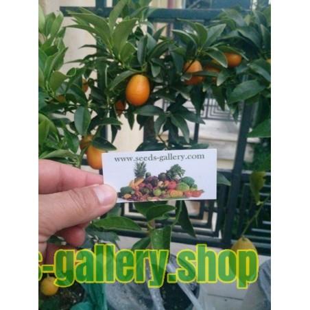 Dzinovski Kumkvat Seme (Fortunella margarita) Juzno Egzoticno Voce