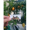 Chinese mulberry - Che Fruit Seeds (Cudrania tricuspidata)