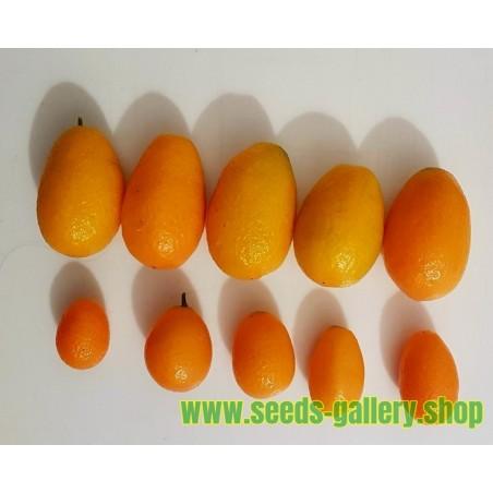 Semi di Kumquat GIGANTE o Mandarino Cinese GIGANTE