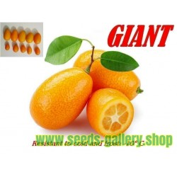 Giant Kumquats or cumquats Seeds (Fortunella margarita) exotic tropical fruit