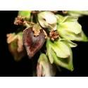 BLACK RASPBERRY Seeds (Rubus occidentalis)