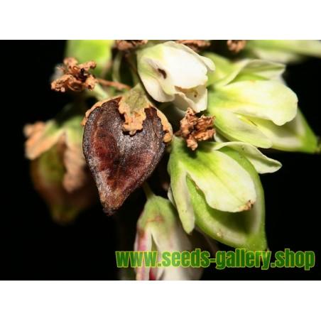 Heljda Seme – Lekovita Biljka (Fagopyrum esculentum)