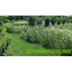 Echte Buchweizen Samen - Heilpflanze (Fagopyrum esculentum)