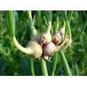 Graines de Pissenlit Commun (Taraxacum officinale)