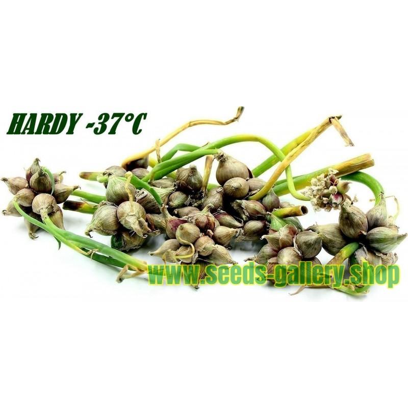 Egipatski hodajuci luk - Luk Drvo Seme (Allium proliferum)