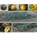 Graines de Ronce Odorante (Rubus odoratus)