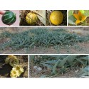 Karfiol Seme Snow Ball Povrce