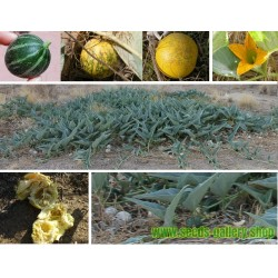 Divlja Tikva Seme - Bizon Tikva (Cucurbita foetidissima)