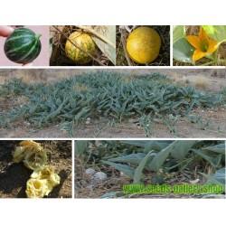 Sementes de Cabaça de Búfalo (Cucurbita foetidissima)