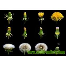 300 SEMI DI TARASSACO O DENTE DI LEONETaraxacum officinalis Dandelion seeds+