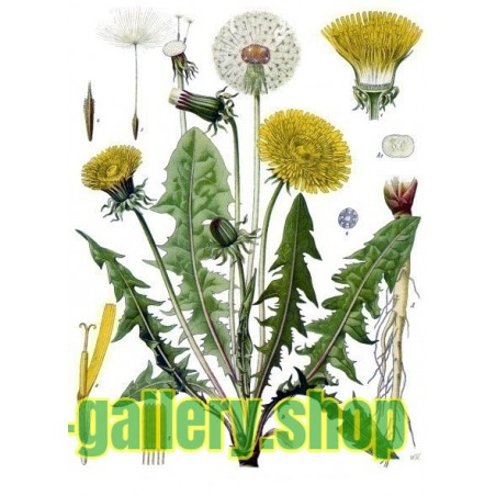 Graines de Pissenlit Commun (Taraxacum officinale)