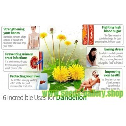 Common Dandelion Seeds Medical Herb (Taraxacum officinale)