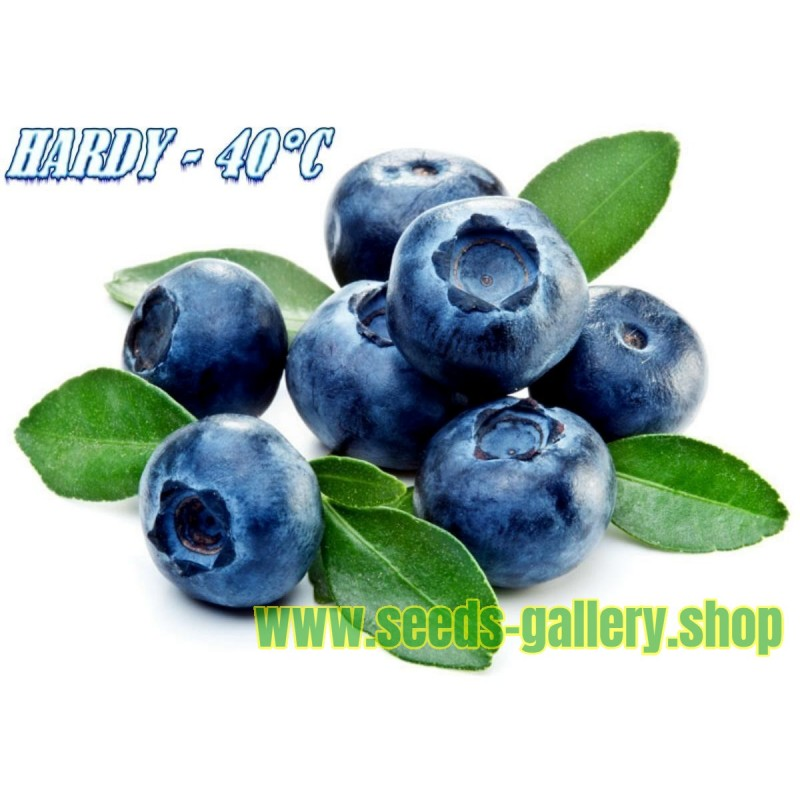 Northern Highbush Blueberry Seeds (Vaccinium Corymbosum)