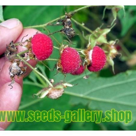Zimt Himbeere Samen (Rubus odoratus)