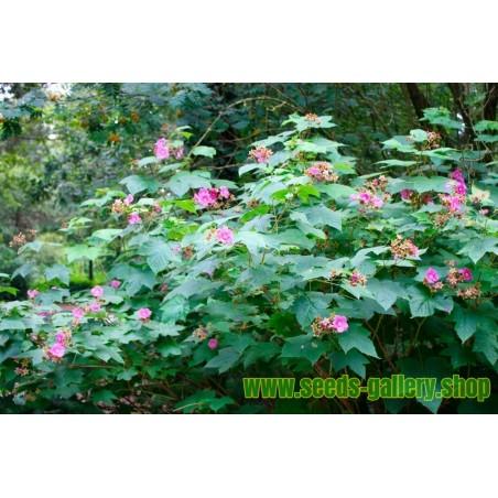 Σπόροι μοβ Ανθισμένα Βατόμουρο (Rubus odoratus)
