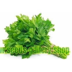 Parsley Giant of Naples Seeds (Petroselinum crispum)