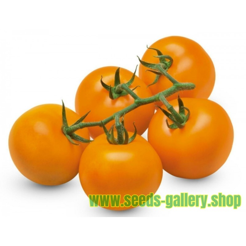 AURIGA Tyska Tomat ekologiskt frö (Solanum lycopersicum)