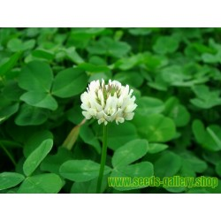 Graines de Trèfle blanc ou Trèfle rampant (Trifolium repens)