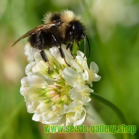 Bela Detelina Seme (Trifolium repens)