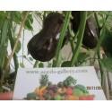 Süßpaprika Samen Chocolate Beauty
