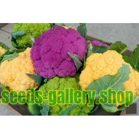 CAULIFLOWER SOWING, PLANTING, GROWING, AND HARVESTING