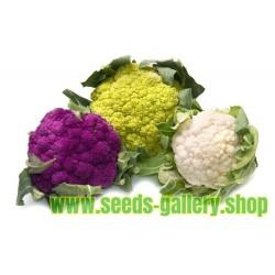 Blumenkohl Aussaat, Pflanzung, Pflegen, Ernten und Lagern