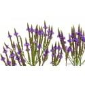 Semillas de Hierba Sagrada (verbena officinalis)