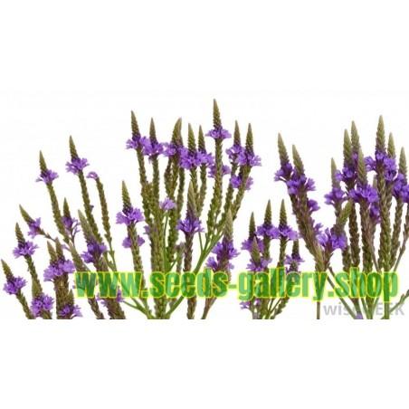 Echte Eisenkraut Samen (Verbena officinalis)