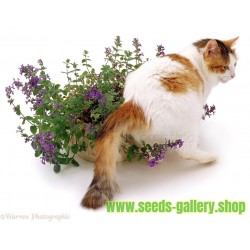Graines de Cataire ou Chataire (Nepeta cataria)