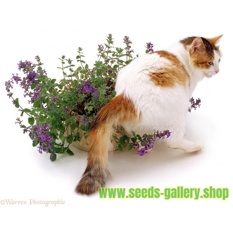 Macina trava - Macja metvica Seme (Nepeta cataria)