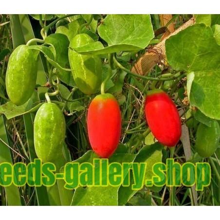 Skarletna Tikva Seme (Coccinia grandis)