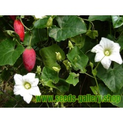 Ivy Kalebass, Scharlakansröd Kalebass, Kowai Frö (Coccinia indica)