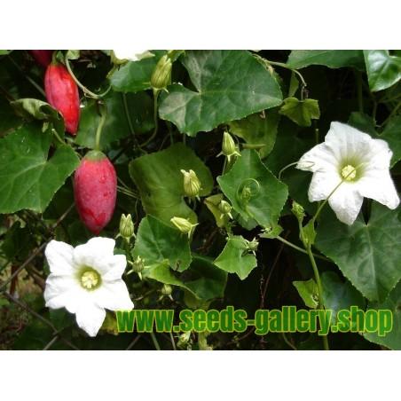 Ivy Gourd, Scarlet Gourd Seeds (Coccinia grandis)