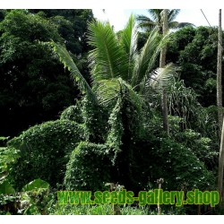 Tindola - Scharlachranke Samen (Coccinia grandis)