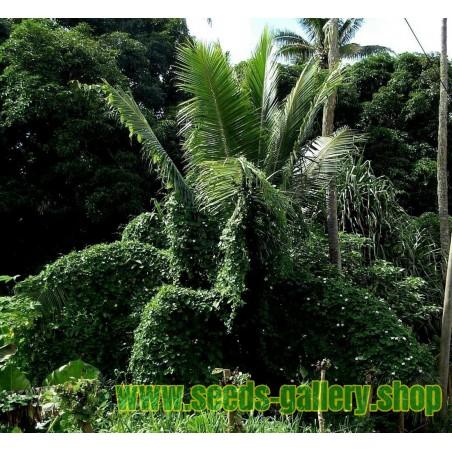 Chinese Date - Indian Jujube Seeds (Ziziphus mauritiana)