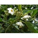 Bilberry Seme (Vaccinium myrtillus)