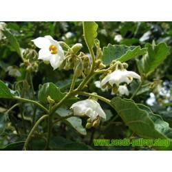 Türkenbeere - Pokastrauch Samen (Solanum torvum)