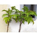 Trobojni Slak Seme (Ipomoea tricolor)