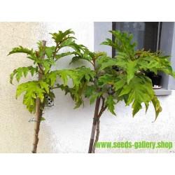 Ärtaubergine Frö (Solanum torvum)