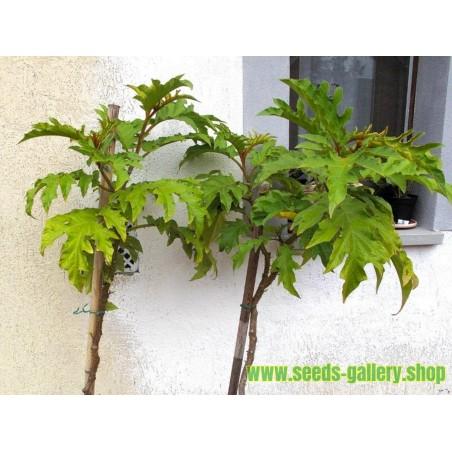 Mini Patlidzan – Grasak Patlidzan Seme (Solanum torvum)