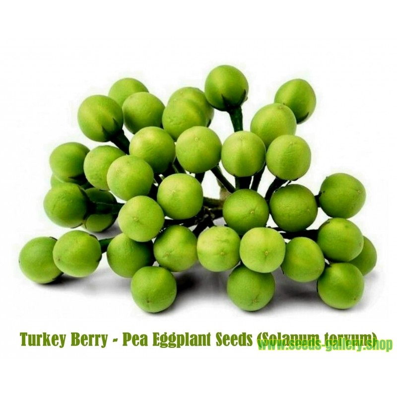 Turkey Berry - Pea Eggplant Seeds (Solanum torvum)